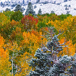 """Fall Colors in the Eastern Sierra Trees and Snow"" It was exactly the same conditions we have had this week here in the Bay Area - 95+ degrees last weekend and this week it is supposed to be 70 and rain. The fall colors on the Aspens and Pines were a nice mix with the light dusting of snow. I wasn't quite prepared for the extreme change in weather but did have a great time. I captured this on a workshop with Michael Frye Photography."