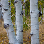A trio of Aspens.  3176