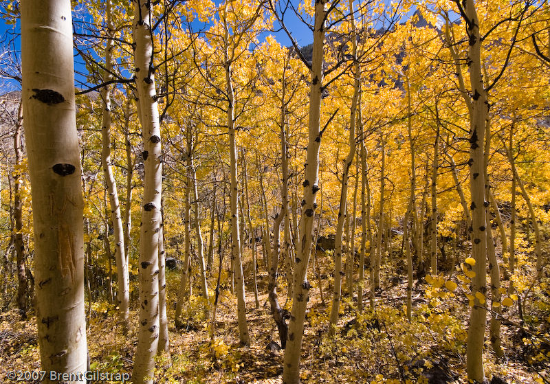"""Aspens Near Cardinal Pond II""<br /> Aspendell, California<br /> 5 October 2006"