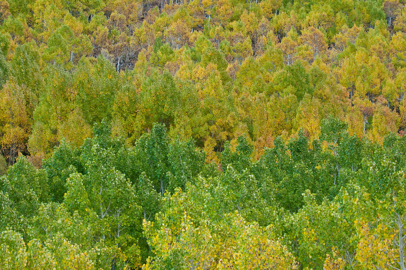Starting to Turn.  Fall Colors in the Eastern Sierra near Bishop.  0876