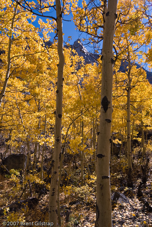 """Aspens Near Cardinal Pond III""<br /> Aspendell, California<br /> 5 October 2006"
