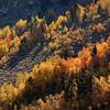 Lone red aspen tree at Rock Creek in autumn, Eastern Sierra, California