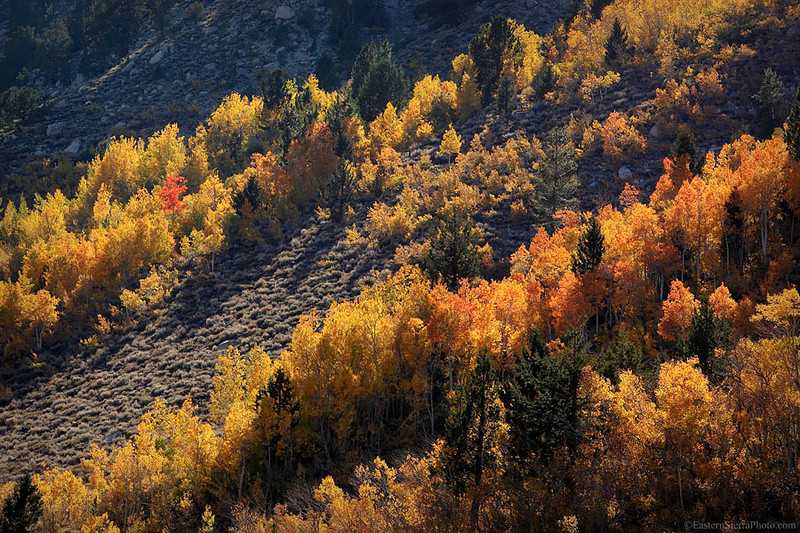 Lone red aspen tree at Rock Creek in autumn, Eastern Sierra, California