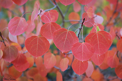 Red Aspen Leaves Fall 2009