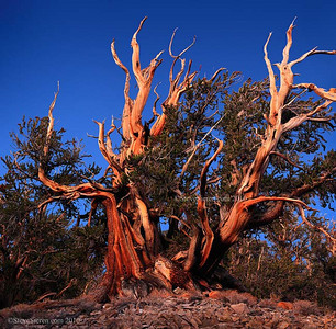 Living Bristlecone Pine White Mountains, Eastern Sierra