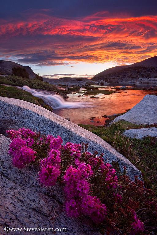 Purple Mountain Heather Hoover Wilderness - Eastern Sierra