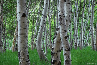 Aspen near Grant Lake,  Eastern Sierra Nevada Mountain Range, California