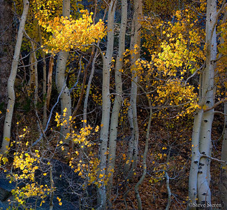 Fall Aspen - Bishop Creek Eastern Sierra