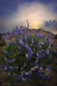 Wild lupines in the Kern River watershed.