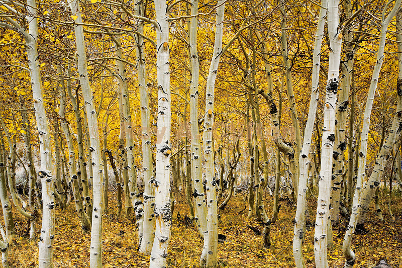 (IMG6224) Thick stand of Aspens