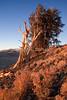 (IMG6090) Bristlecones live a tough life