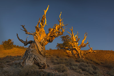 Bristle Cone Pine, the last light
