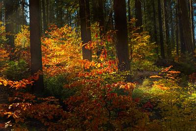 Dogwood Grove, Yosemite NP