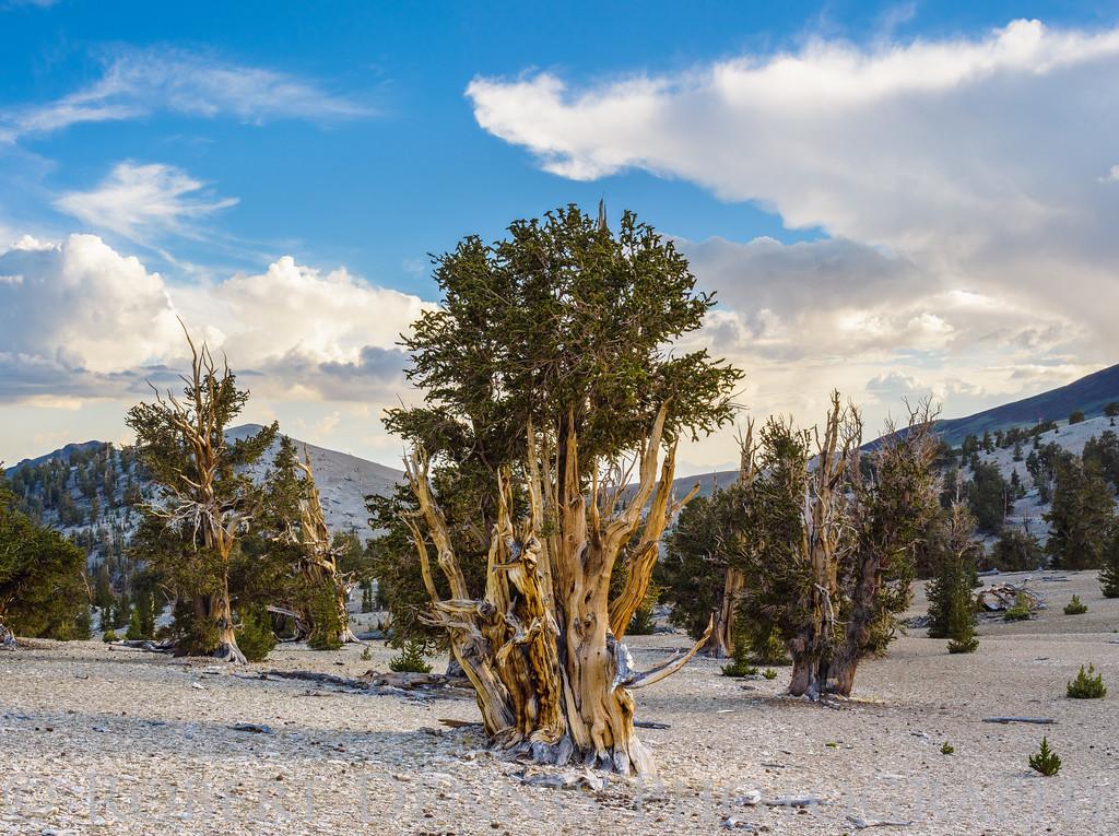 Bristlecone Pine Forest, Patriarch Grove