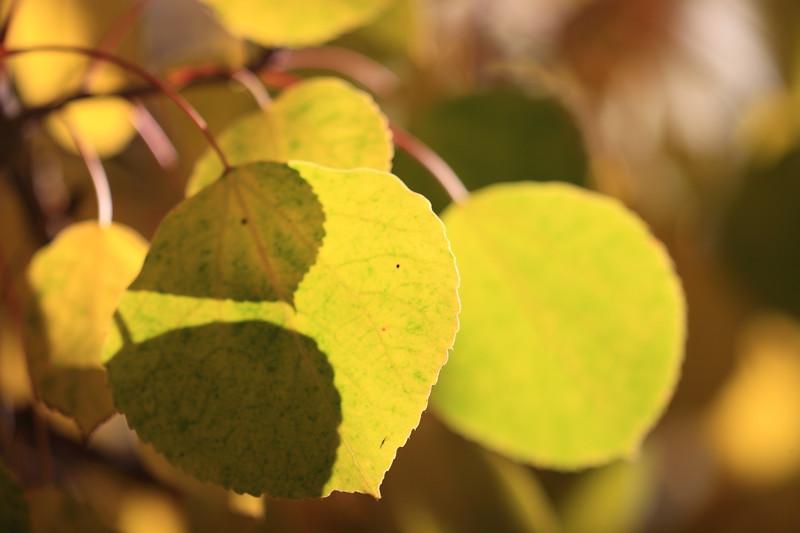 Aspen Leaves up Close