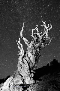 Ancient Bristlecone and Stars B+W-1