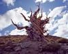 Bristlecone Pine Sentinel