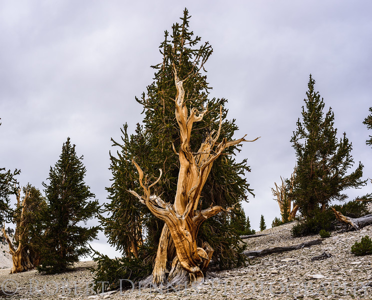Bristlecone Pine Forest, Patriarch Grove; Still life; detail shots; bristlecone close ups