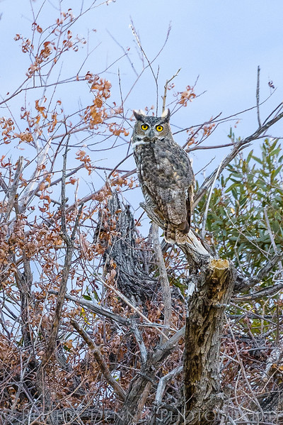 Eastern Sierra, Great Horned Owl