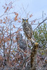 Eastern Sierra, Great Horned Owl