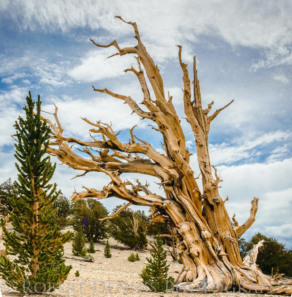 Bristlecone Pine Forest, Patriarch Grove; Eclipse Shots