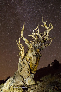 Ancient Bristlecone Fall 2015-2