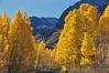 Beautiful Aspens