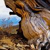 Bristlecone pine, eastern sierras