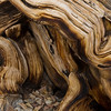 At the base of trunk of bristlecone pine