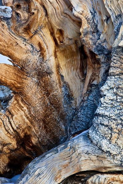 Bristlecone pine trunk