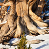 Young and old bristlecone pines