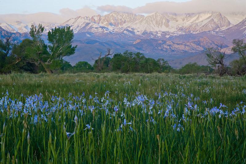 Iris blooming, eastern sierras