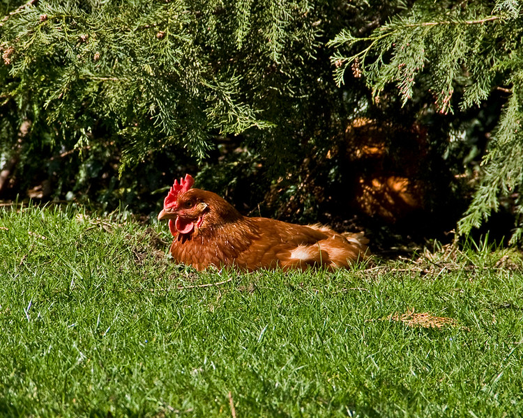 Chicken laying Easter eggs?