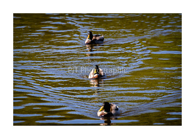 Mallard Ducks in a row