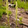 47 G Burnt Forest Bear Grass V
