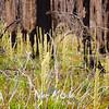 85  G Burnt Forest Bear Grass