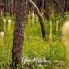124  G Burnt Forest Bear Grass