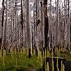 78  G Burnt Forest V