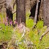 11  G Fireweed