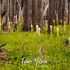 119  G Burnt Forest Bear Grass