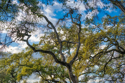 The Oaks come alive in spring