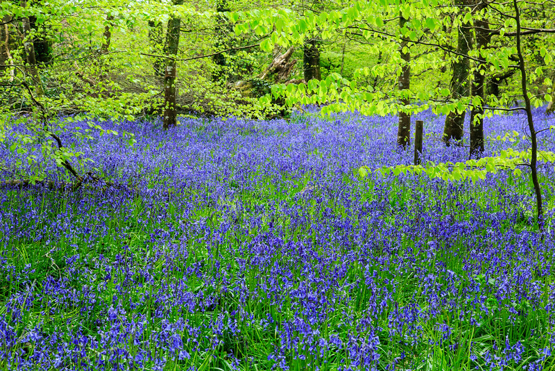 Bluebells at Lanhydrock Gardens, Cornwall