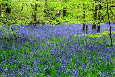 Bluebells at Lanhydrock Gardens, Cornwall