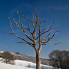 Skeleton tree in snow, Mytholmroyd.