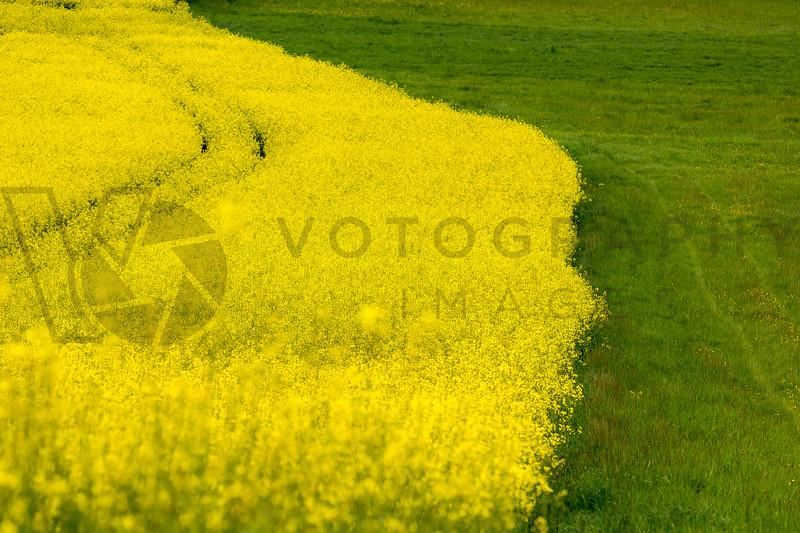 Rapeseed Field, Lorraine, France
