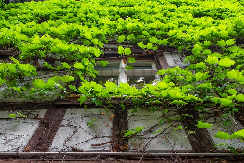 Ivy Housefront, Strasbourg, Alsace, France