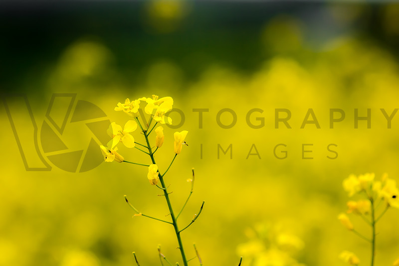 Singled Out, Rapeseed Plant, Lorraine, France