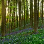 Hallerbos Forest Sunrise Sunburst_Pano