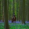 Hallerbos Forest_2