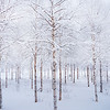 A Winter Maze Of Snowy Trees - Central Finland